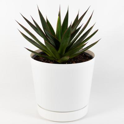 Blue Glow (Agave) Live Plant Inside 8 in. White Contemporary Planter with Saucer