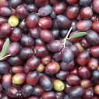 Leccino Olive Tree (1-Plant)