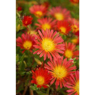 Button Up Fire Trailing Iceplant (Delosperma) Live Plant, Red-Orange Flowers with a Yellow Center, 4.5 in. Qt.