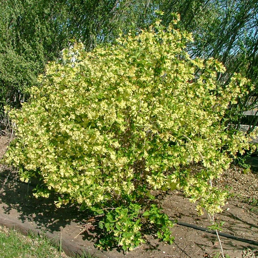 Spring Hill Nurseries 4 In Pot Lemon Ice Weigela Live Potted