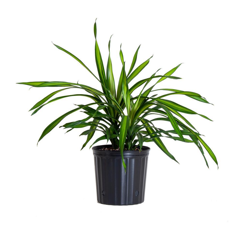 Dracaena Indoor Plants Garden Plants Flowers The Home Depot