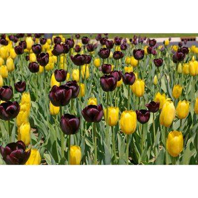 Tulip Dusk to Dawn Blend (10-Pack)