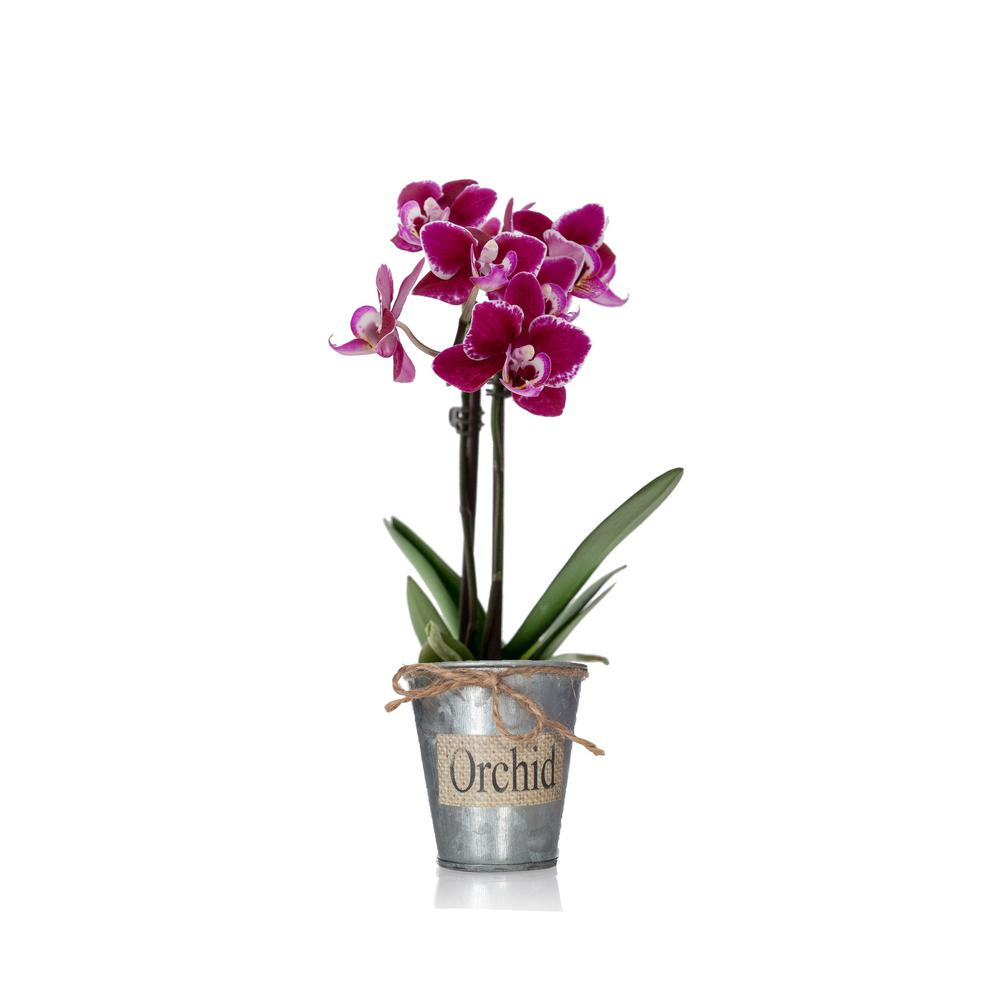 Purple Mini Orchid Plant in Bio Pot