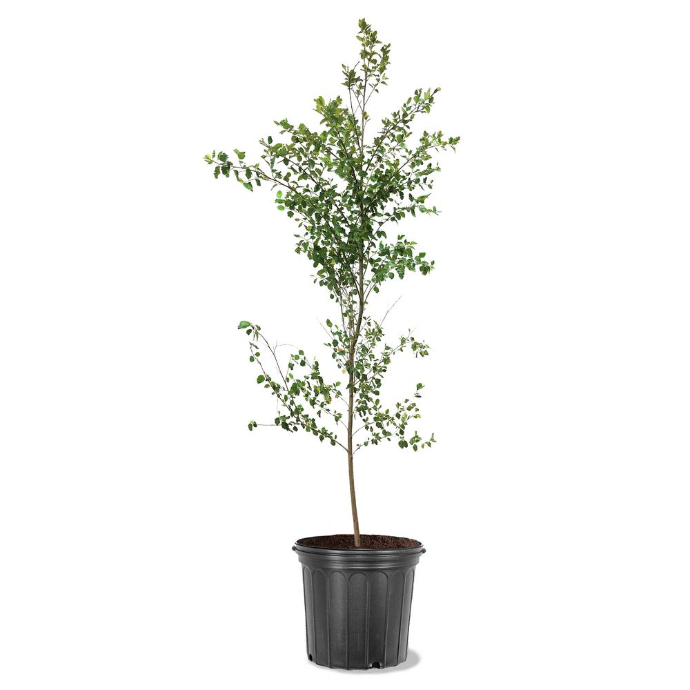 5 Gal. River Birch Single Trunk Shade Tree