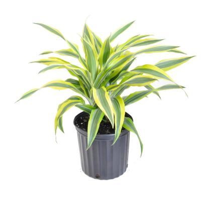 24 in. Tall to 30 in. Tall Dracaena Warneckii Lemon Lime Plant Live Indoor Houseplant Shipped in 9.25 in. Grower Pot