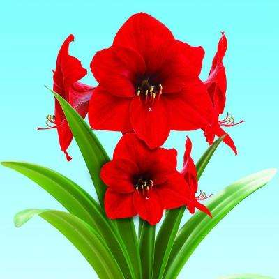 Perennial red fall to winter flower bulbs garden plants extra large red lion amaryllis with red pot mightylinksfo
