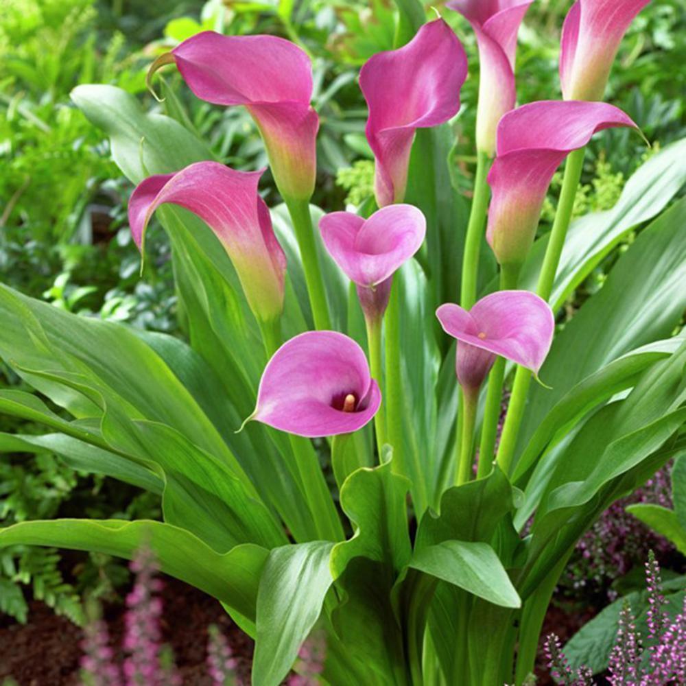 Callas Lavender Sensation Bulbs (Set of 5)