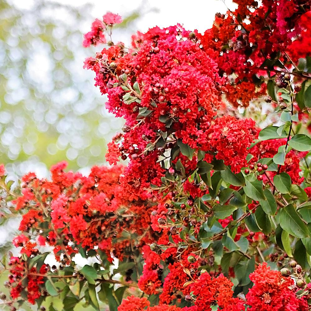 SOUTHERN LIVING 3 Gal. Southern Living Miss Frances Crape Myrtle Tree