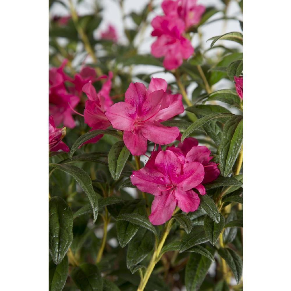 Encore Azalea 2 Gal Autumn Jewel Evergreen Multi Season Re Blooming Shrub With Pee Pink Flowers 80712 The Home Depot