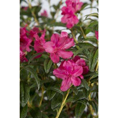 3 Gal. Autumn Jewel - Evergreen Multi-Season Re-Blooming Shrub with Petite Pink Flowers