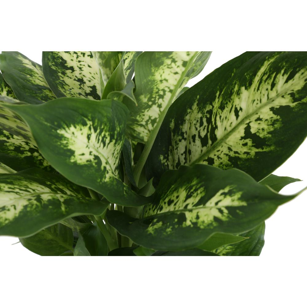 Costa Farms ffenbachia in 6 in. Grower Pot on names of house buildings, names of dracaena plants, names of plants inside, names of dry plants, names of office plants, indoor plants, names of herbaceous perennials, names of different houseplants, scientific names of plants, names of gifts, names of unusual plants, names of flowers, names of landscape plants, names of elephant ear plants, names of hibiscus, names of seashore plants, names of climbers, names of fuchsias, names of house design, names of angel plants,