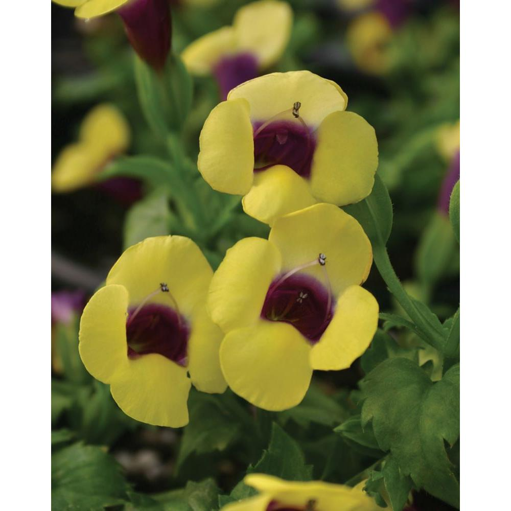 Catalina Gilded Grape Wishbone Flower (Torenia) Live Plant, Yellow Flowers with