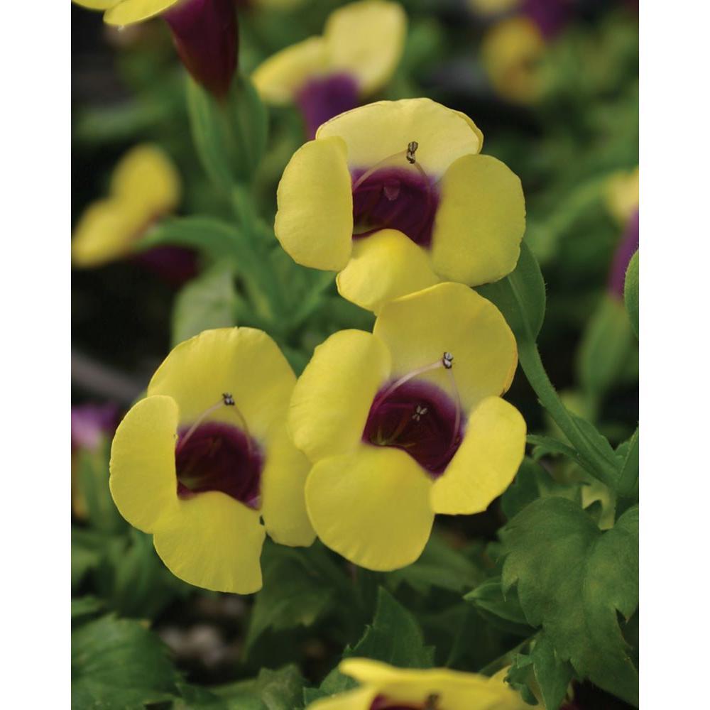 Catalina Gilded Grape Wishbone Flower Torenia Live Plant Yellow Flowers With A Purple