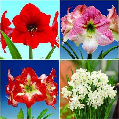 Economy Amaryllis (3) and Paper-White (12) Collection