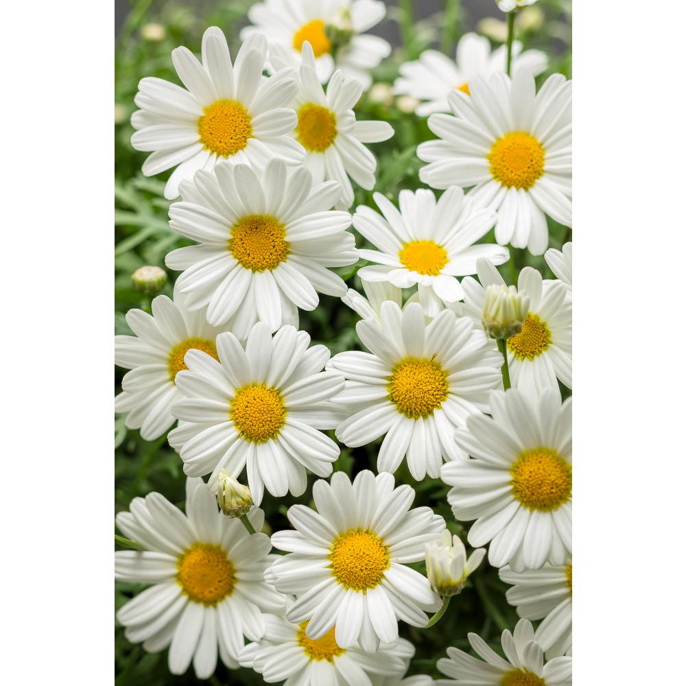 Proven Winners Pure White Butterfly Marguerite Daisy (Argyranthemum) Live Plant, White Flowers, 4.25 in. Grande, 4-pack