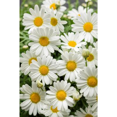 4-Pack, 4.25 in. Grande Pure White Butterfly Marguerite Daisy(Argyranthemum) Live Plant, White Flowers