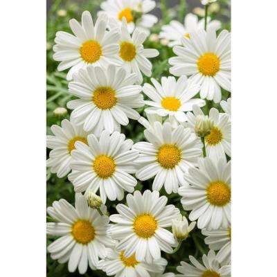 Pure White Butterfly Marguerite Daisy(Argyranthemum) Live Plant, White Flowers, 4.25in. Grande,4-pack