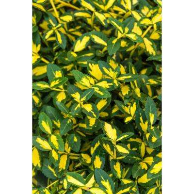 2.5 qt. Moonshadow Euonymus, Live Broadleaf Evergreen Plant, Green/Yellow Variegated Foliage (1-Pack)
