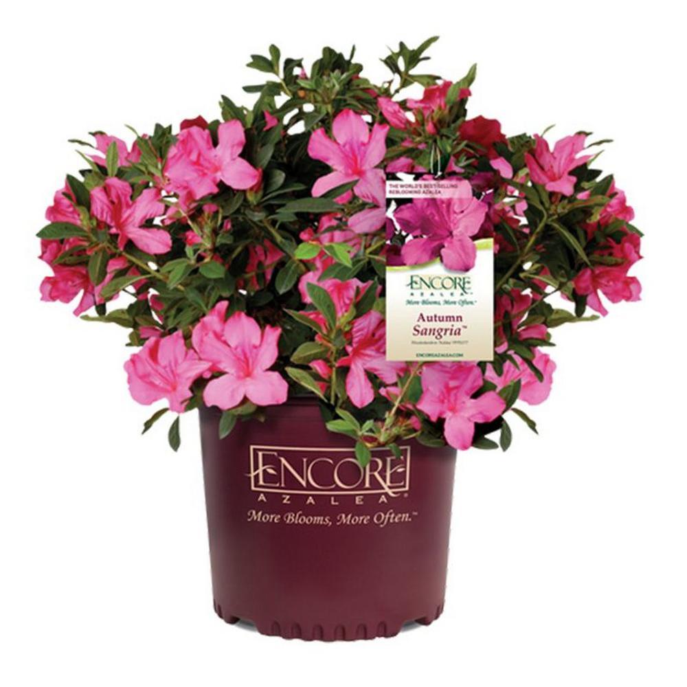 Encore Azalea 2 Gal. Autumn Sangria Shrub with Pink Flowers