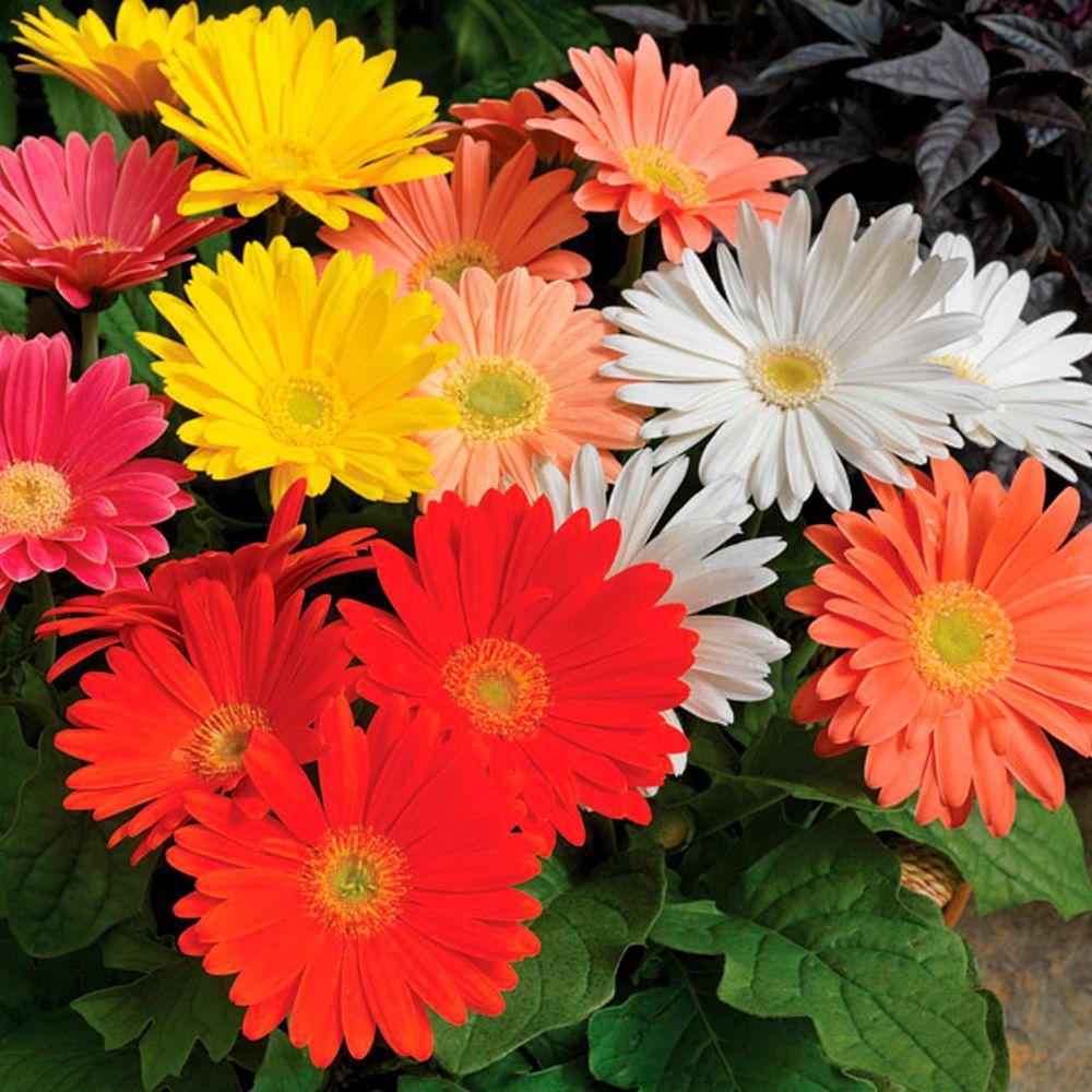 Proven Winners Ezdazy Springtime Mix Gerbera Live Plant Pink Red