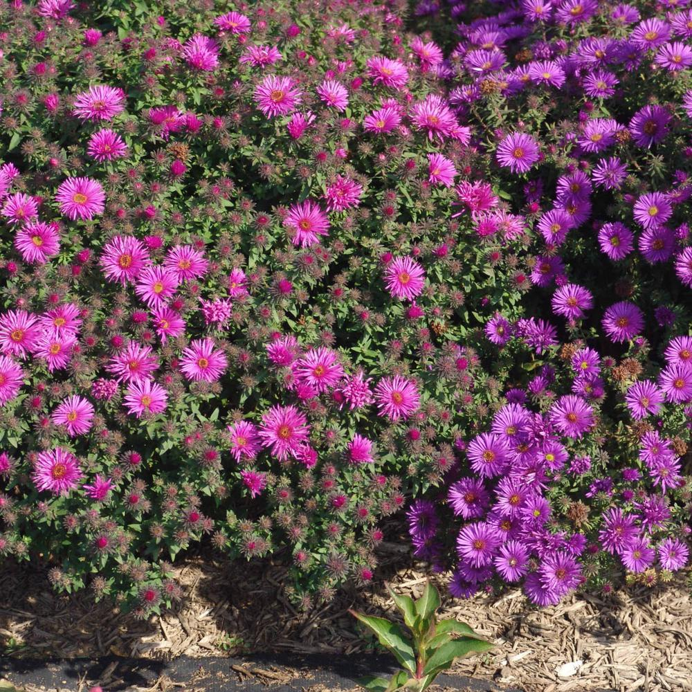 Spring Hill Nurseries 3 In Pot Vibrant Dome Aster Live Deciduous Plant Pink Flowering Perennial