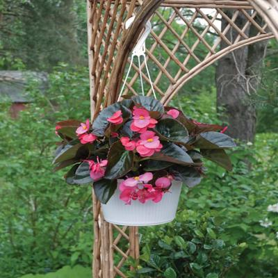 1.38-Pint Bronze Leaf Red Begonia Plant
