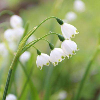 Leucojum Gravetye Giant Bulbs (10-Pack)
