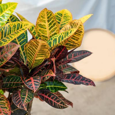 2.5 Qt. Croton Petra Shrub Plant in 6.33 In. Grower's Pot (4-Plants)