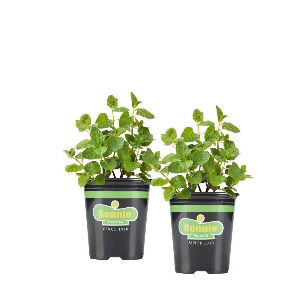 19.3 oz. Spearmint (2-Pack Live Plants)