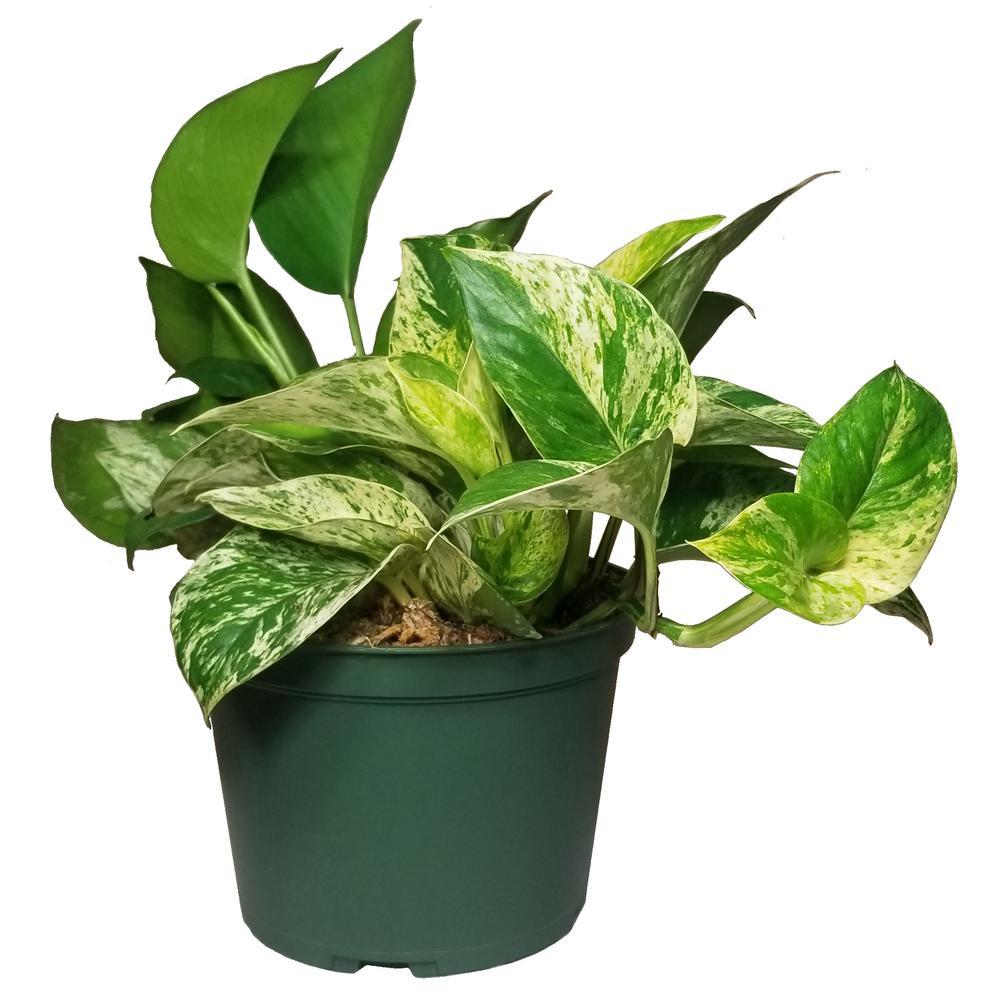 Pothos Plant in 6 in. Grower Pot