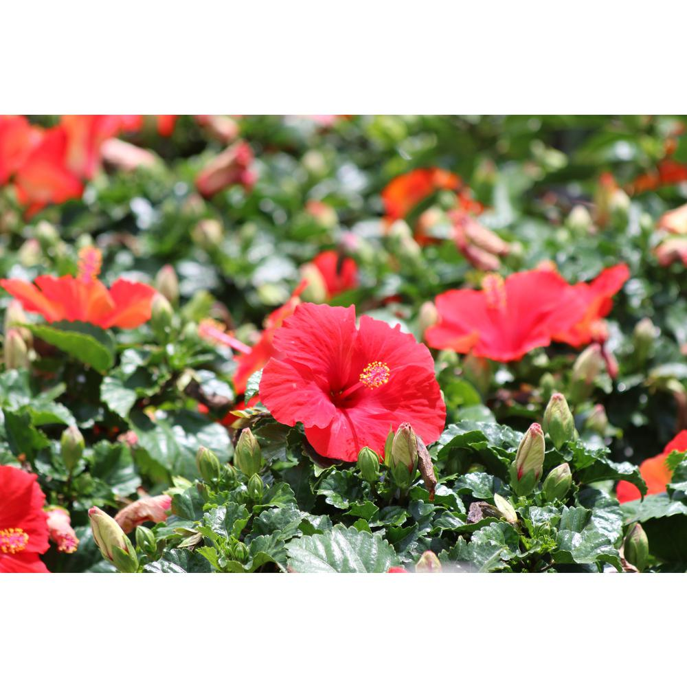 Costa Farms 1 Qt. Red Hibiscus Tropical Live Outdoor Flowers in Grower Pot (4-Pack)