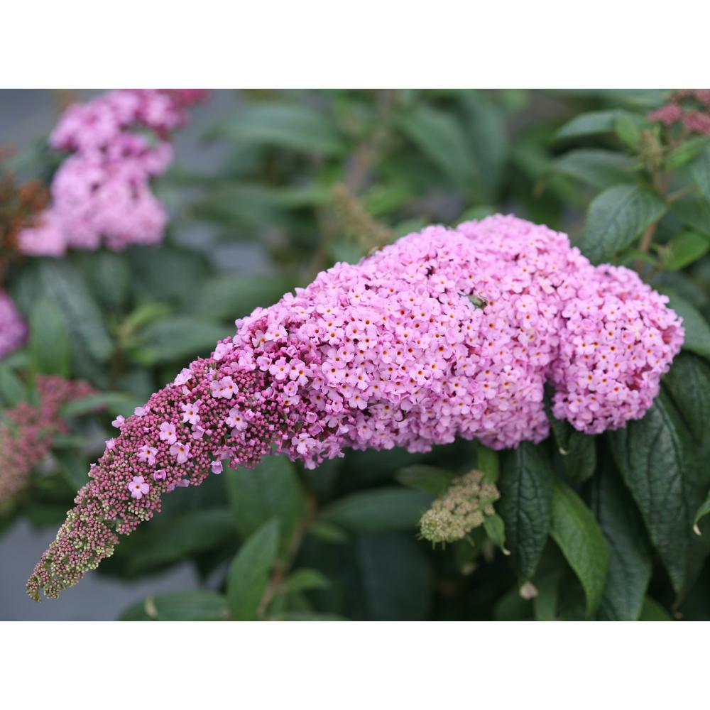 Butterfly bush shrubs trees bushes the home depot 3 gal pugster pink butterfly bush mightylinksfo