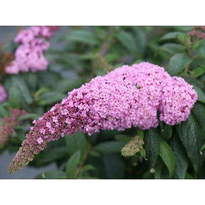1 Gal. Pugster Pink Butterfly Bush (Buddleia) Live Shrub, Pink Flowers