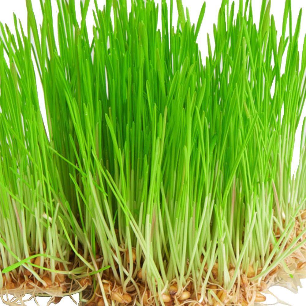 Wheat Grass Seed