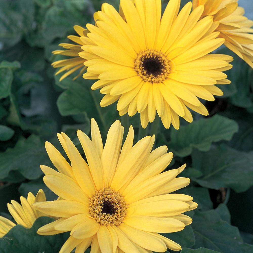 2.5 Qt. Yellow Transvaal Daisy Plant