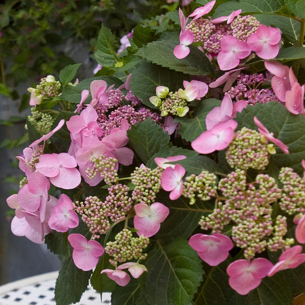 Spring Hill Nurseries Endless Summer Twist And Shout Hydrangea 4 In Potted Plant