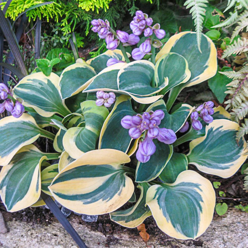Spring Hill Nurseries Mighty Mouse Mini Hosta Live Bareroot Perenial