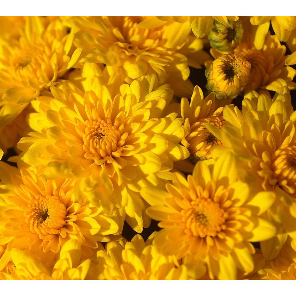 Garden mums gdnmum the home depot garden mums mightylinksfo