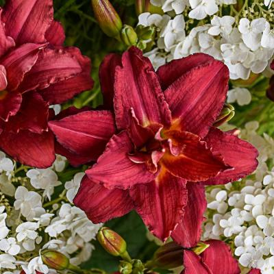 Pardon Me Double Reblooming Daylily (Hemerocallis), Live Bareroot Perennial with Red Flowers (1-Pack)
