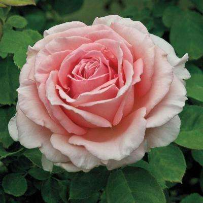 Pink Flowers Pearly Gates Climbing Rose Live Bareroot Plant (1-Pack)
