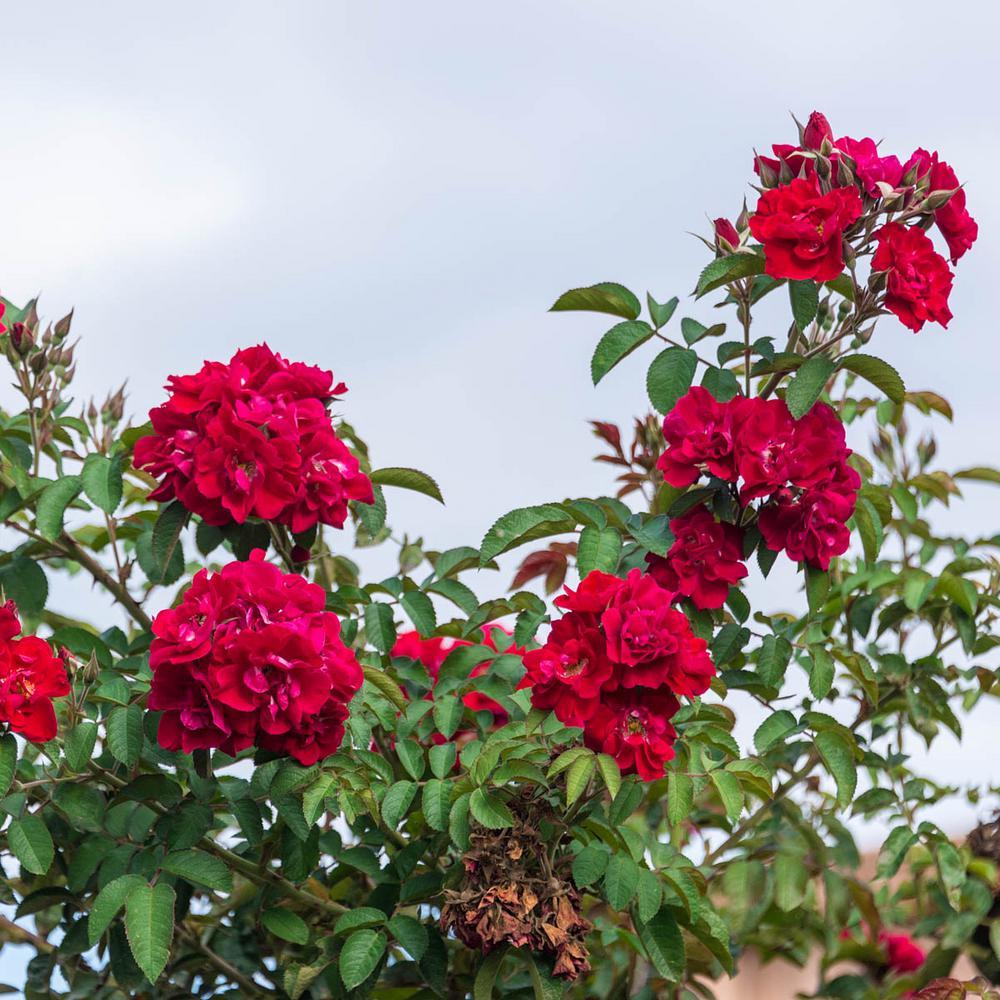 Don Juan Climbing Red Rose Flowers Live Bareroot Plant (1-Pack)