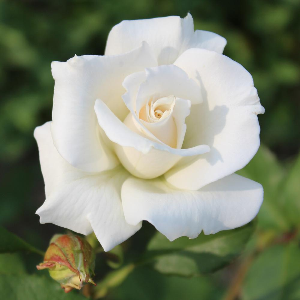Mea Nursery All-Time Favorites Pascali Hybrid Tea Rose with White Flowers was $25.98 now $10.49 (60.0% off)