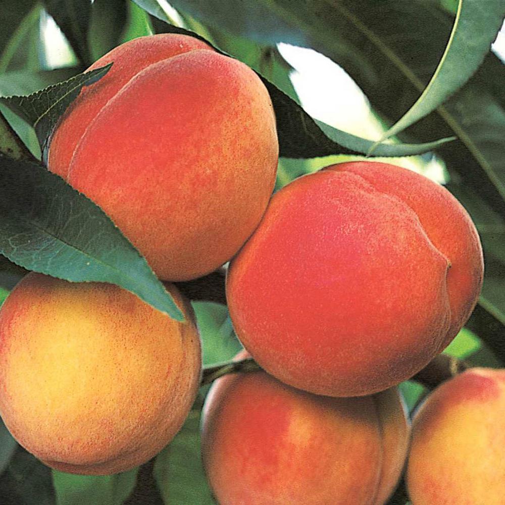 Belle Of Georgia Reachables Peach