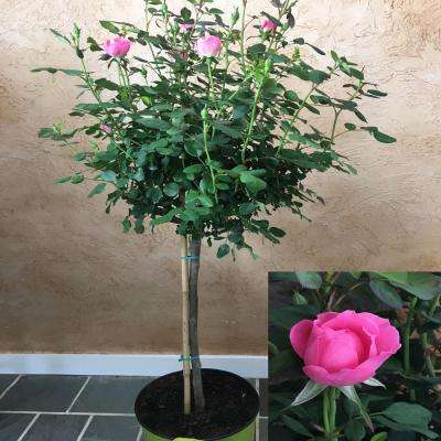 3 Gal. 3 ft. tall Tree Form Double Pink KnockOut Rose