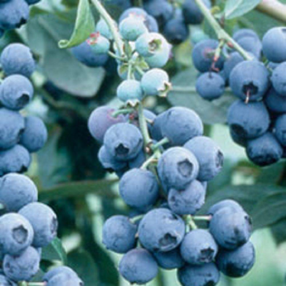2.5 Qt. Becky Blueberry(Rabbiteye) - Fruit-bearing Shrub