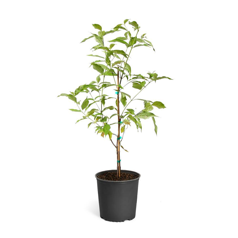 5 Gal. Flowering White Dogwood Tree