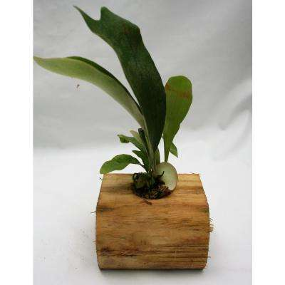 4 in. Staghorn Fern on Wood