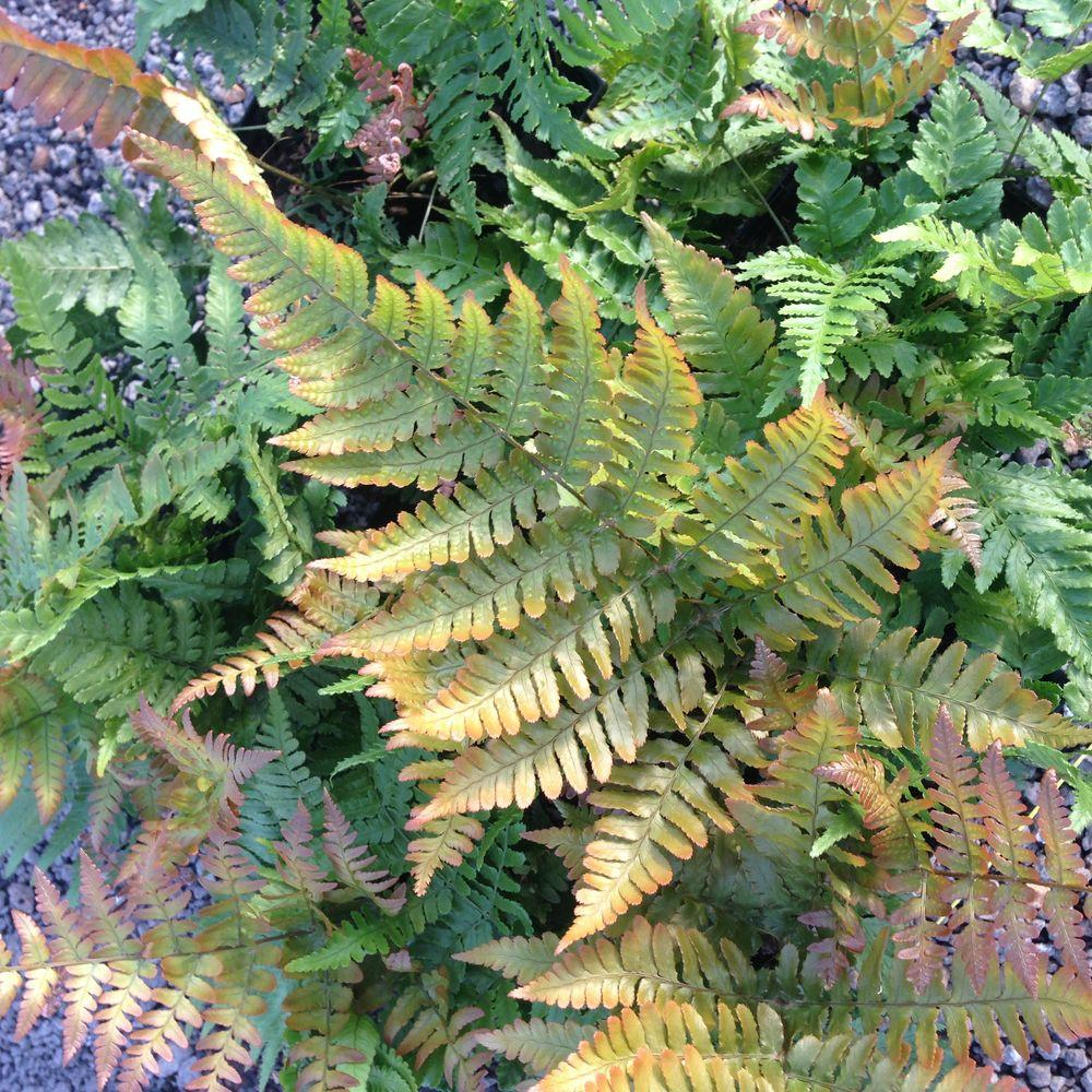2.5 Qt. Autumn Fern, Live Evergreen Plant, Copper and Green Foliage