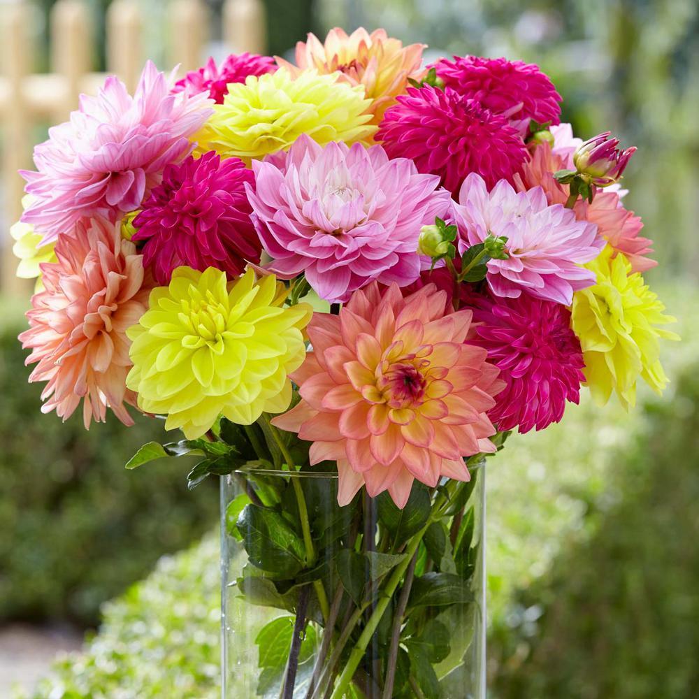 #1 Summer Jewels Dahlia Bulbs (5-Pack)