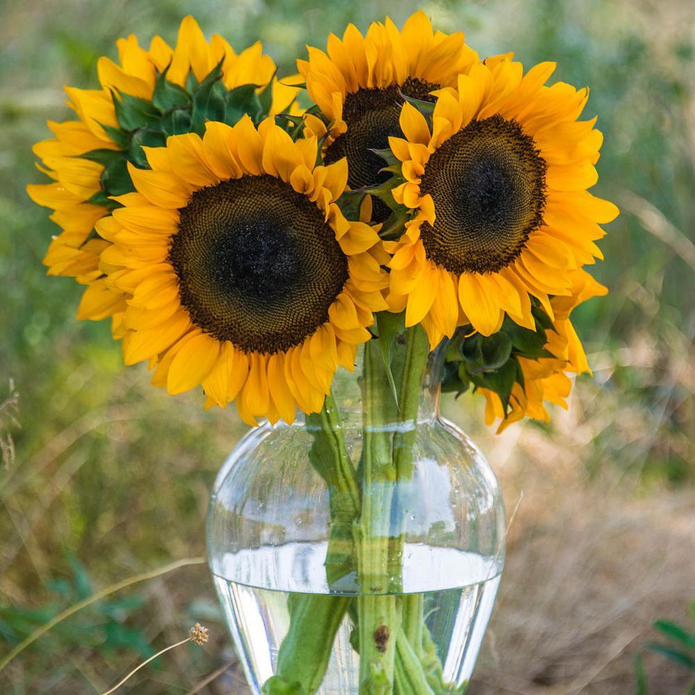 Procut Orange Hybrid Sunflower Seeds (25-Seed Packet)